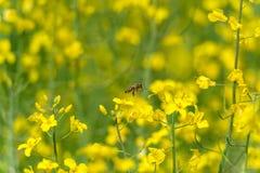 Abeja del vuelo sobre el campo de la rabina Fondo amarillo borroso Foto de archivo