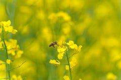 Abeja del vuelo sobre el campo de la rabina Fondo amarillo borroso Imagen de archivo