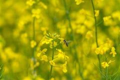 Abeja del vuelo sobre el flor de la rabina Fondo borroso amarillo Fotos de archivo libres de regalías