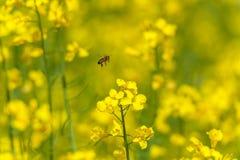 Abeja del vuelo sobre el flor de la rabina Sesión fotográfica macra con el fondo borroso Fotos de archivo libres de regalías