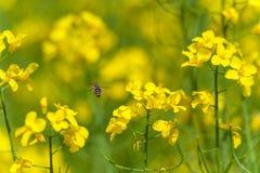 Abeja del vuelo sobre el flor de la rabina Sesión fotográfica macra con el fondo borroso Imagen de archivo