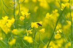 Abeja del vuelo sobre el flor de la rabina Sesión fotográfica macra con el fondo borroso Foto de archivo libre de regalías