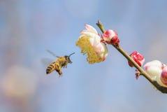 Abeja del vuelo y flor del melocotón Fotografía de archivo
