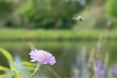 Abeja del vuelo y una flor con las hormigas y el piojo de la vid Foto de archivo