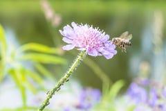 Abeja del vuelo y una flor con las hormigas y el piojo de la vid Fotografía de archivo
