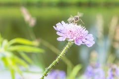 Abeja del vuelo y una flor con las hormigas y el piojo de la vid Imagen de archivo libre de regalías