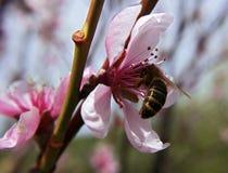 Abeja dentro de la flor rosada Imagen de archivo libre de regalías