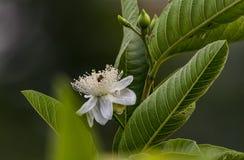 Abeja dentro de la flor de un árbol de la guayaba imagenes de archivo