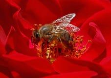 Abeja dentro de la rosa del rojo Foto de archivo libre de regalías