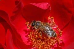 Abeja dentro de la rosa del rojo Imagenes de archivo