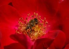 Abeja dentro de la rosa del rojo Imagen de archivo libre de regalías