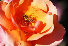 Abeja dentro de una rosa Imagen de archivo