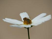 Abeja dentro del blanco de Bipinnatus del cosmos de la flor del cosmos del jardín Imágenes de archivo libres de regalías