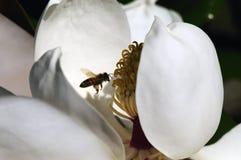 Abeja dentro del flor de la magnolia Imagen de archivo