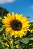 Abeja dos que se sienta en el girasol con el cielo azul Imagen de archivo libre de regalías