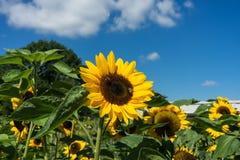 Abeja dos que se sienta en el girasol con el cielo azul Foto de archivo libre de regalías
