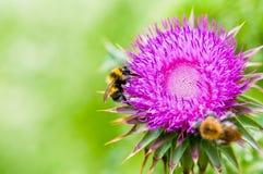 Abeja dos que trabaja en una flor Foto de archivo libre de regalías