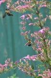 Abeja dos que trabaja en una flor rosada Fotografía de archivo libre de regalías