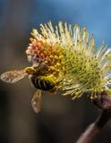 Abeja durante pollination2 Imagenes de archivo
