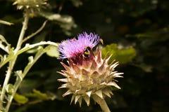 Abeja e insectos en las flores de la alcachofa Imagen de archivo libre de regalías