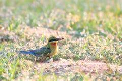 abeja-eaterOn Azul-atada la tierra en morming fotos de archivo