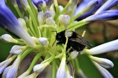 Abeja ecuatoriana que recoge el polen en lirio azul Fotografía de archivo