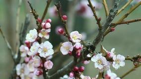 Abeja el día soleado de los flores de la fruta almacen de video