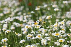 Abeja el estación de primavera de la flor de la manzanilla Fotografía de archivo