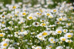 Abeja el la primavera de la flor de la manzanilla Imágenes de archivo libres de regalías