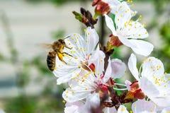 Abeja en albaricoquero floreciente Fotos de archivo libres de regalías