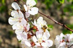 Abeja en albaricoquero floreciente Foto de archivo