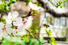 Abeja en albaricoquero floreciente Fotos de archivo