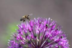 Abeja en allium de la flor Fotografía de archivo libre de regalías