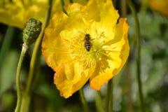 Abeja en amarillo del flor Foto de archivo