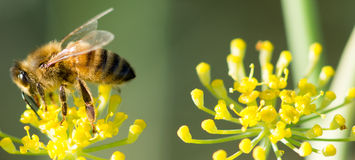 Abeja en Anise Flower Imágenes de archivo libres de regalías