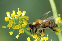 Abeja en Anise Flower Fotos de archivo