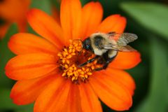 Abeja en aster anaranjado Imagen de archivo
