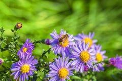 Abeja en asteres del otoño de la lila Fotos de archivo