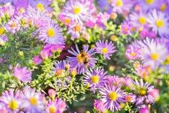Abeja en asteres del otoño de la lila Imagen de archivo