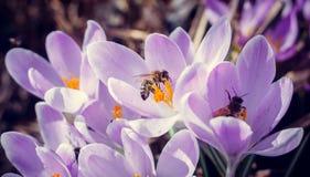 Abeja en azafrán floreciente Fotografía de archivo