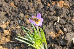 Abeja en azafrán púrpura Imagenes de archivo