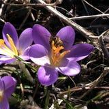 Abeja en azafrán púrpura Imagen de archivo libre de regalías