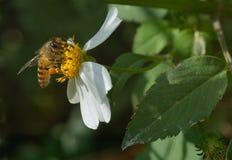 Abeja en base de la flor Fotos de archivo