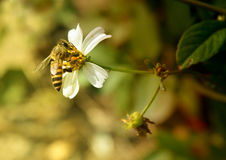 Abeja en base de la flor Foto de archivo
