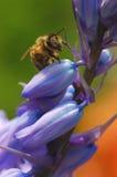 Abeja en bluebells Foto de archivo