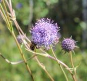Abeja en bosque de la flor Imágenes de archivo libres de regalías