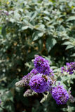 Abeja en buddleia púrpura Imagen de archivo