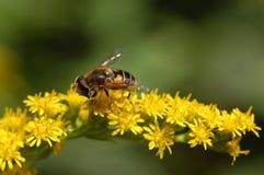 Abeja en busca de la miel Imagen de archivo