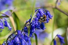 Abeja en campanilla que recoge el polen Foto de archivo