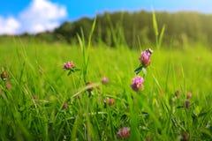 Abeja en campo de flores colorido del trébol Fondo del verano Fotos de archivo